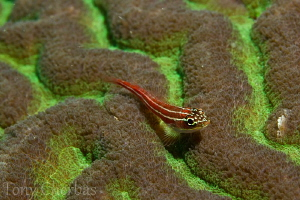 Striped Triplefin on Hard Coral by Tony Cherbas